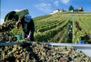 wine-harvest_400