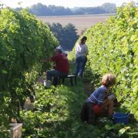 """Vendemmia del SOLARIS al """"Domaine du Chenoy"""" in Belgio"""