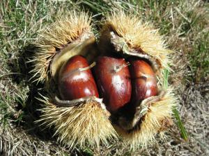 La castagna, frutto dellavita