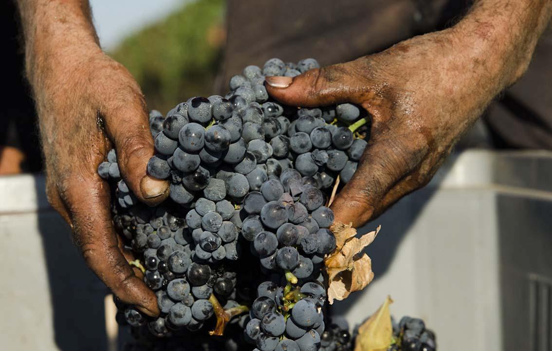 Vendemmia 2017 per  il Primitivo di Manduria:  uve sane e ottimo grado zuccherino