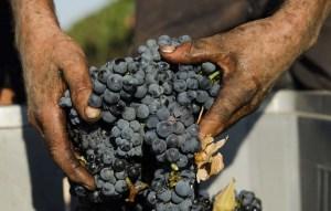 Vendemmia 2017 per  il Primitivo di Manduria:  uve sane e ottimo gradozuccherino