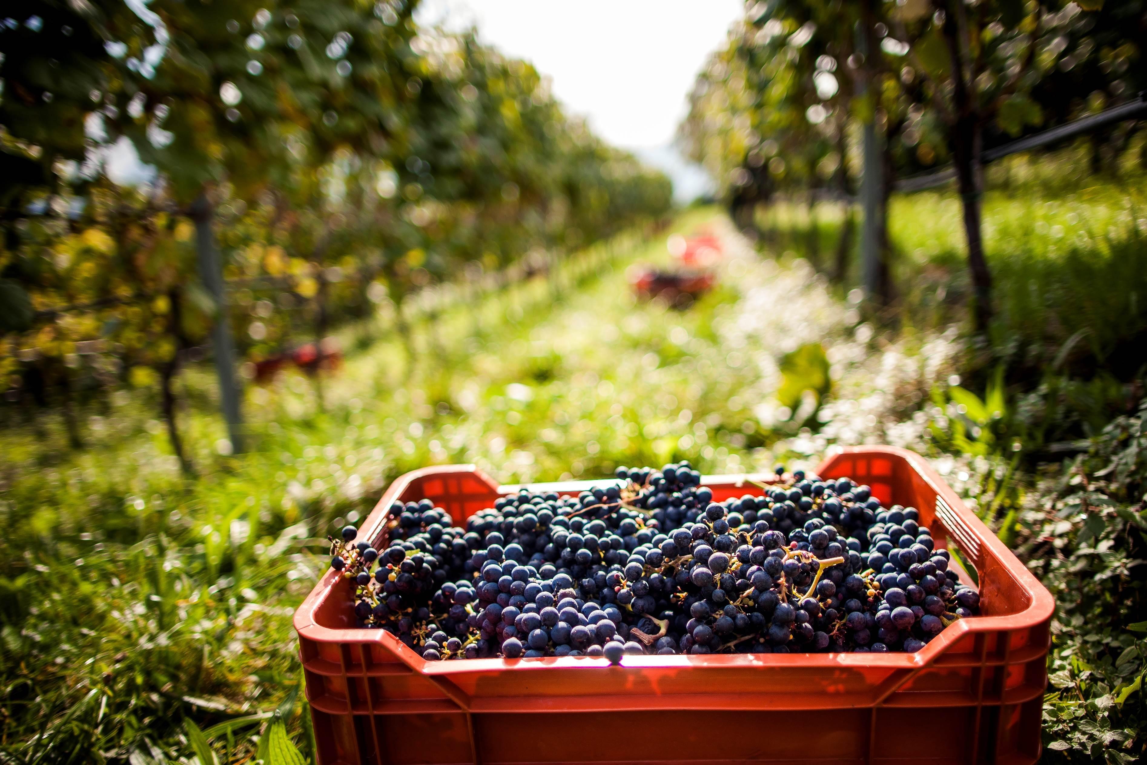 Vendemmia 2017 in Alto Adige: in calo le rese, buona la qualità