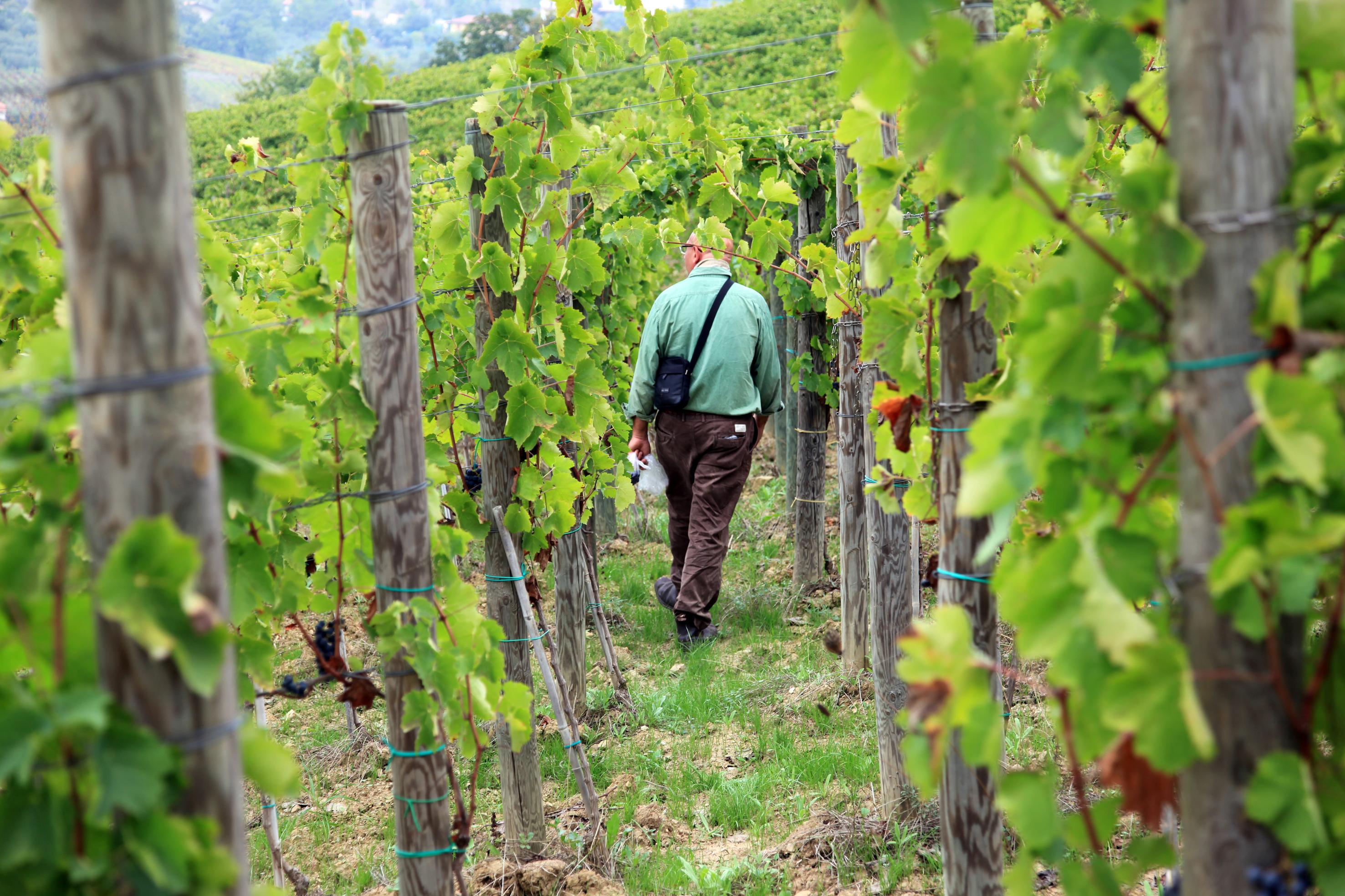 FIVI: vecchie vigne a rischio scomparsa