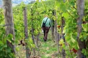 FIVI: vecchie vigne a rischioscomparsa